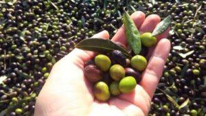 mano contenete delle olive con tappeto di olive sullo sfondo