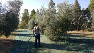 ragazzo raccoglie le olive con un abbattitore in Toscana